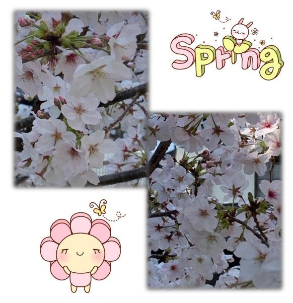 満開の桜がきれいです